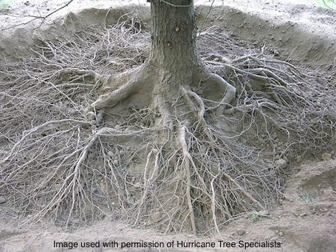 Wonderful Root Crown Excavation | Tree Sculpture Group SL94